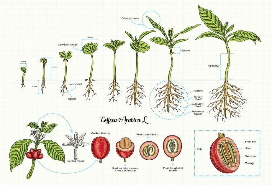 Coffee Plant FAO