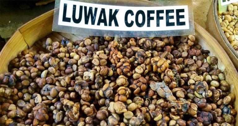 kopi luwak kaffe